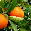 10 dôvodov, prečo si obľúbiť mandarínky